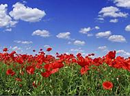 唯美好看的紅色花海圖片