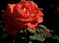 一朵红色的月季花图片