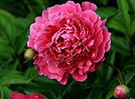 花团锦簇的芍药花图片