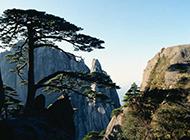頂天立地的松樹攝影圖片