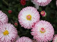 雏菊粉红色花海图片