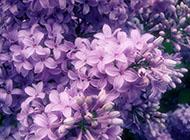 紫色的花海精美图片赏析