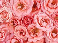 精美粉色玫瑰花图片赏析