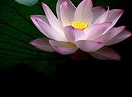 带水珠的莲花摄影图片