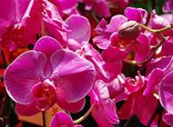 漂亮的玫红蝴蝶兰花朵图片