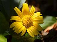 黄菊花图片高清素材