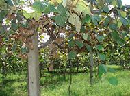果園里黃褐色的奇異果圖片