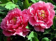 粉嫩的四季牡丹花图片特写