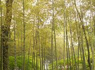 春季的竹子超清摄影图片