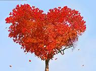 心形唯美楓樹高清圖片