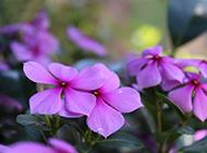 盛开的紫色花朵唯美图片