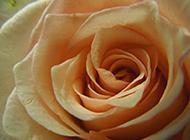 唯美的香槟玫瑰图片赏析