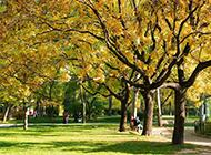 法國梧桐樹圖片高大茂盛
