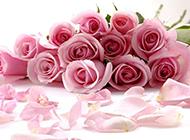 唯美的粉色玫瑰背景圖片