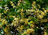 桂花树图片素材繁花满枝