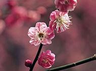 昂首怒放的梅花图片