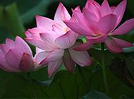 原创花卉摄影辑夏荷图片欣赏