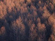 秋天里的一大片松树林图片