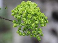榆树榆钱图片植物微距摄影