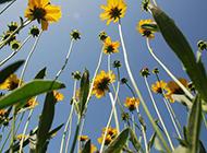 深秋独放的野菊花图片