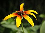 黄色野菊花微距摄影图片