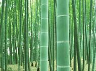 一大片翠绿的竹林图片