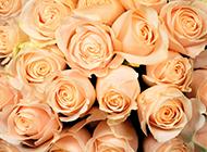 香檳玫瑰圖片唯美高清壁紙