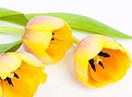 黄色郁金香花高清摄影图片