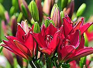 火红百合花卉图片