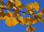 秋天的银杏树叶唯美图片