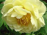 黄色的牡丹花图片素材