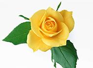 一朵美丽的黄玫瑰图片素材