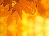 热情洋溢的枫叶图片