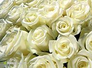 纯粹崇高的白玫瑰高清壁纸