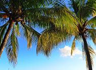 修長挺拔的棕櫚樹圖片欣賞