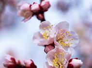 异香扑鼻的桃花特写图片