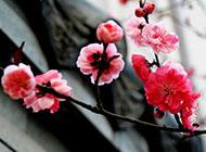 冬天梅花背景图片高清素材