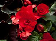 红艳娇媚的海棠花摄影图片