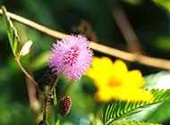 花盆含羞草图片可爱迷人