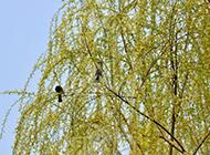 唯美柳树图片尽显春天浪漫