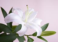 清新淡雅的百合花花卉植物素材