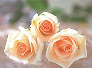 鲜艳香槟玫瑰花图片赏析
