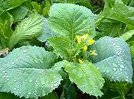菜地的深绿色蔬菜图片