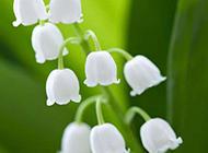 芳香宜人的鈴蘭花圖片