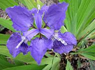 蓝紫色的鸢尾花摄影图片