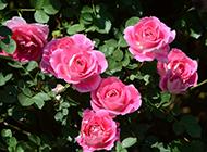 五彩缤纷爬墙月季唯美植物图片