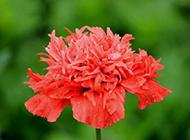 红色鲜花图片高清摄影
