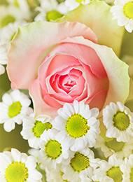 素雅簡約粉玫瑰高清素材圖片
