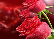 浪漫的情人节红玫瑰图片赏析