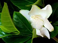 美丽洁白的栀子花图片欣赏